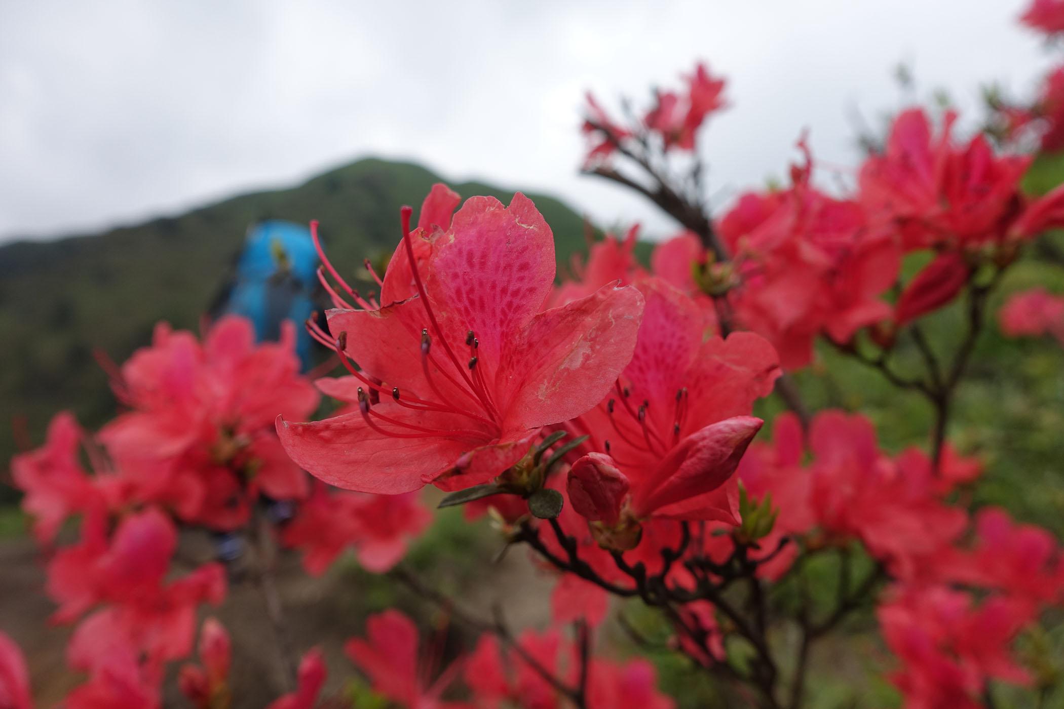武功山的杜鹃花